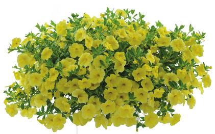 Calibrachoa Noa Lemoncello