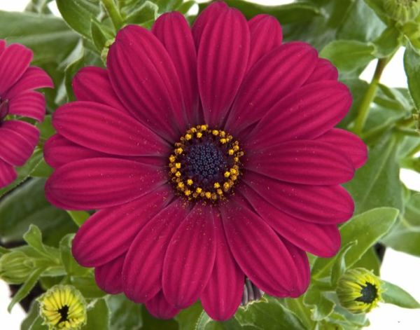Остеоспермум FlowerPower® Purple Red