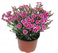 Гвоздика Dianthus specials pink kisses