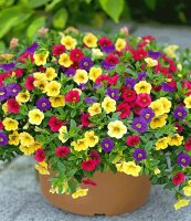 Calibrachoa Noa Blue Legend - Calibrachoa Noa Lemoncello -  Calibrachoa Noa Raspberry