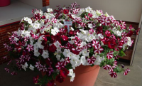 Petunia Peppy Red - Littletunia White Grace - Littletunia Red Fire